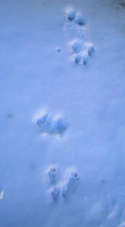 Backyard Animal Tracks